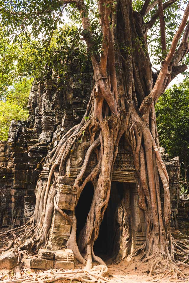 Baum wächst über Tempel in Angkor Wat