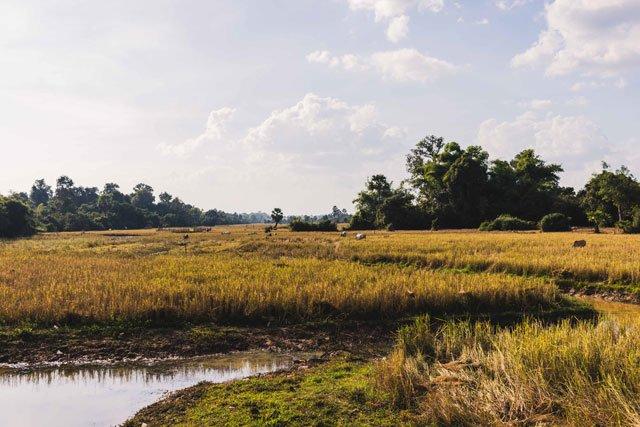 Felder bei Siem Reap