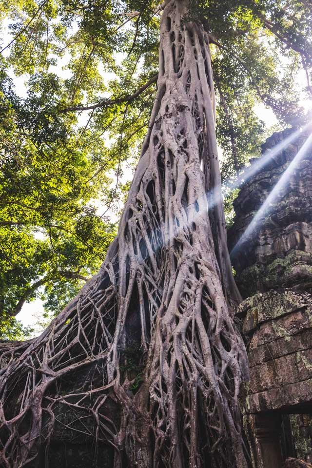 Alter Baum im Ta Prohm Tempel aus Tomb Raider
