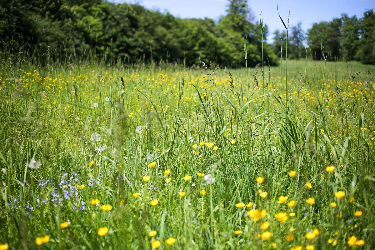 Blumenwiese im Harz